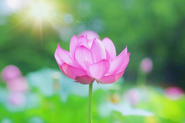 爽やかな朝日と蓮の花